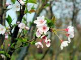 染井吉野樱花树,早春樱花树价格,苗圃基地直销