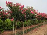 上海紫薇树价格,苗圃基地紫薇树价格,虹硕苗圃供应
