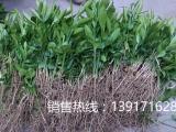 上海柚子苗价格,红心柚子苗价格,虹硕苗圃基地直销