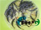 广州青鱼苗价格