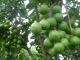 供应粤桂农业2号坚果苗中心 澳洲坚果苗培育 夏威夷果苗品种