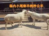 供应小尾寒羊成年母羊