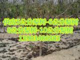 供应占地梨树-6-7-8-9-10-12-15公分梨树价格