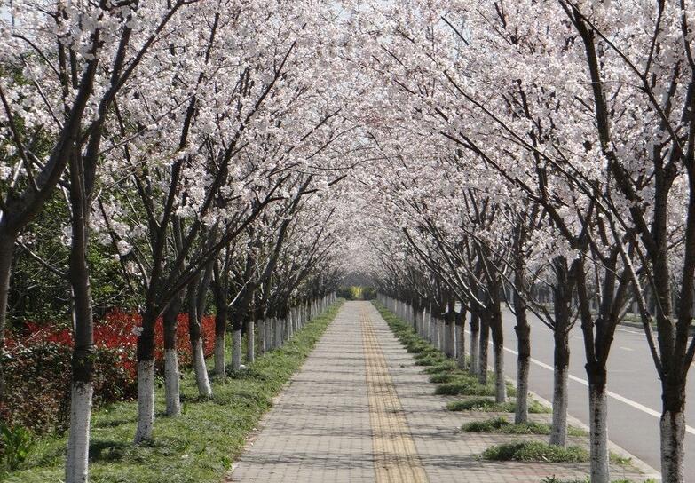 行道树移栽,行道树种植,行道树供应