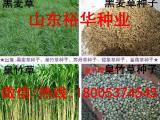 哪里有黑麦草种子 黑麦草种子价格