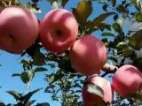 红富士苹果价格 冷库红富士苹果价格行情