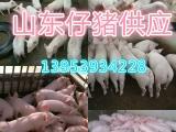 大量供应仔猪、生猪