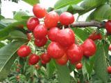 2017大棚樱桃产地价格,红灯樱桃产地批发价格