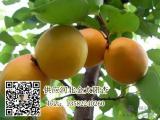 保定金太阳杏供应 产地直供 价格合理