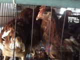 青年鸡厂家