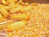 四川长期大量求玉米高粱,小麦,木薯淀粉,大米碎米
