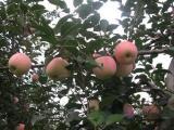 苹果苗|泽阳园艺场|3公分M9T337自根砧苹果苗