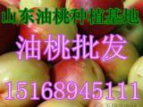 供应油桃批发价格 油桃产地价格