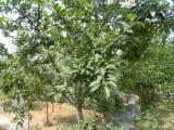 七公分M9T337自根砧苹果苗|苹果苗|泽阳园艺场