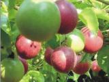 供应中华(黄金果)百香果苗的特点 鸡蛋果(百香果)今天价格