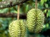 泰国榴莲进口马来西亚冷冻榴莲进口报关报检泰国