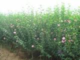 白木槿,木槿,亿发园林(图)