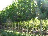 造型法桐树