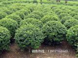 大叶黄杨球价格行情,上海大叶黄杨球苗圃基地报价