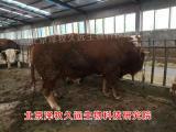 怎么喂肉牛体型好瘦肉率高