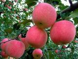 苹果苗,泽阳园艺场,苹果苗木供应