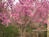 紫荆、紫荆、亿发园林(图)