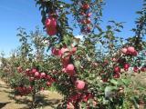 苹果苗供应_苹果苗_泽阳园艺场(查看)