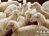 湖羊养殖_湖羊种羊价格_优质湖羊养殖批发的4大原因
