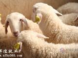 湖羊养殖技术,湖羊种羊价格,湖羊肉羊养殖