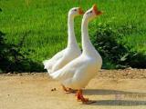 快速育肥鹅的辅助饲料-大蒜素&鹅用大蒜素