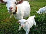 种母羊预混料&种母羊专用饲料