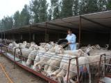 波尔山羊用预混料—波尔山羊用催肥预混料