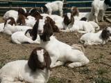 肉羊育肥饲料&肉羊育肥浓缩料