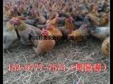 鸡苗批发养殖基地