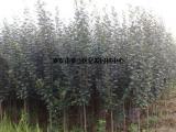海棠树|舒兰海棠|亿发园林(查看)