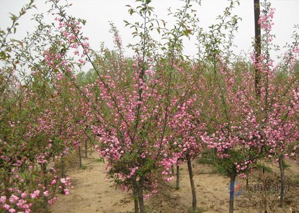 海棠树|舒兰海棠|亿发园林(查看)   西府 海棠盆景的主要病害是赤星病