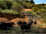 乐农之家上线高端原生态黑山猪肉