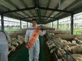 英美尔肉羊预混料 肉羊快速育肥预混料配方