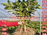 管溪三红柚子高山能种吗多少钱一棵