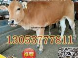 改良肉牛可以放养吗