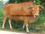 牛喂什么长得快 牛吃什么长得快