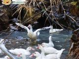 正宗山泉放养原生态番鸭