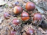 供应橡树种子 栓皮栎种子500吨