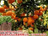 柑桔新品种红美人柑桔苗 红美人柑桔苗价格