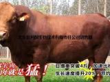 西门塔尔牛速效增重 育肥牛养殖饲料配方