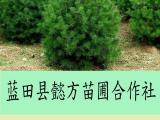 绿化白皮松销售-白皮松种植-懿方合作社白皮松种植基地
