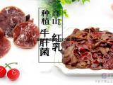 小红乳牛肝菌