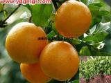 皇帝柑苗多少钱一株 皇帝柑苗现在种植能不能成活