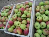 哪里有早熟苹果上市 早熟苹果批发价格