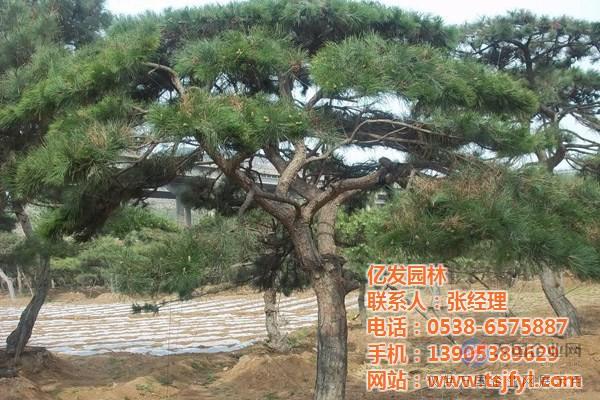 亿发园林 黑松 黑松树